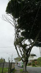 Canopy pruned by winds from Moreton Bay