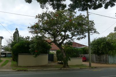 African tulip tree (Spathodea campanulata) is a pest species worth eliminating