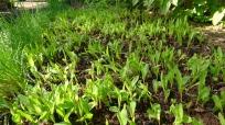 Corn (Zea mays) germinates in mid-winter in Brisbane's new climate