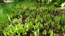 Corn (Zea mays) germinates in mid-winter in Brisbane's new climate