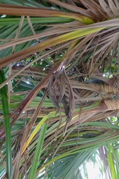 withered flower of female Pandanus cookii