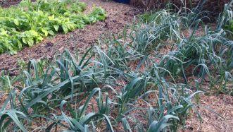 Multiplier leeks, Allium ampeloprasum var. porrum