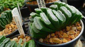 Haworthia truncata, a personal favourite