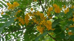 Pride of Bolivia (syn. Rosewood), Tipuana tipu
