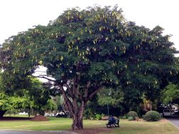 Tipuana tipu, New Farm Park - 1