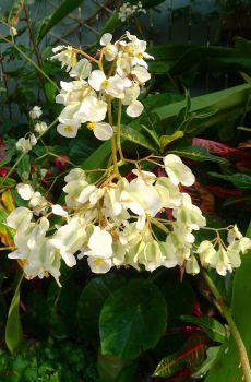 Begonia nelumbifolia
