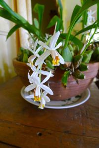 Orchid, Coelogyne cristata