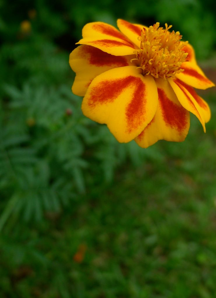 French marigold Tagetes patula 'Himalayan'