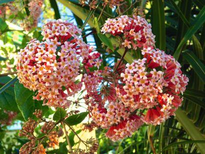 Rondeletia amoena is now Rogiera amoena, but bees, birds and butterflies still love it