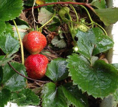 new season 'Red Gauntlet' strawberries: Grandad would have approved!
