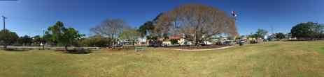 A veteran White Fig, Ficus virens, Greene Park, Wynnum