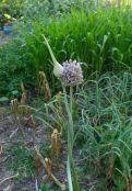 wild leek or elephant garlic, Allium ampeloprasum var. ampeloprasum