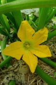 zucchini Cucurbita pepo 'Black Jack' female flower