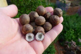 Coquito de Chile aka Wine palm, Jubaea chilensis