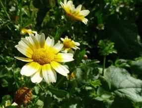 Edible Chrysanthemum, Shungiku, Glebionis coronaria (syn Chrysanthemum)