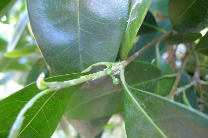 First flower buds: Native Plum, Black Apple, Pouteria australis