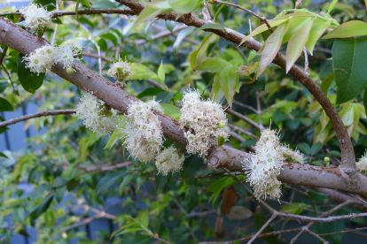 Jaboticaba flowers, Plinia cauliflora (syn. Myrciaria)