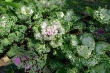 Kale, Brassica oleracea 'Coral Seas Mixed'