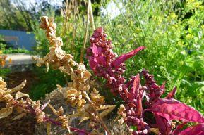 Mountain spinach, Atriplex hortensis 'Purpurea'