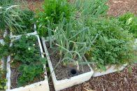 Egyptian or Walking Onion, Allium x proliferum