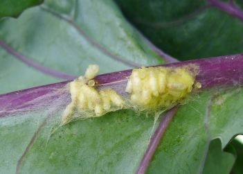 pupae of Species 434, Butterfly parasitoid wasp, Cotesia glomerata