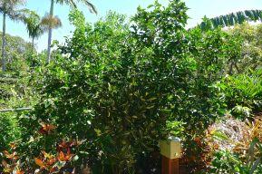 Tahitian lime, Citrus x latifolia
