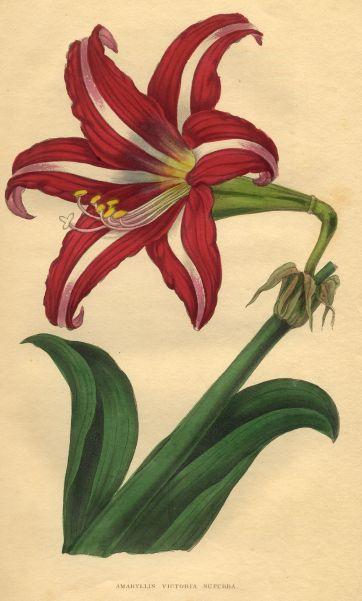 Hippeastrum Victoria Superba, British Florist, 1864