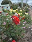 Biggenden Community Rose Garden, spring 2014