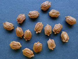 Bitter melon seed, Momordica charantia