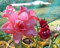 Hippeastrum Baby's Fleur