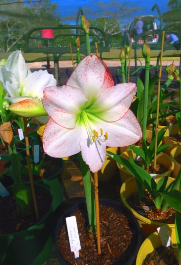 Hippeastrum Captain Cook
