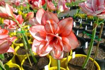 Hippeastrum Edith's Choice