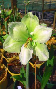 Hippeastrum Emerald Star