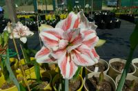 Hippeastrum Excitement