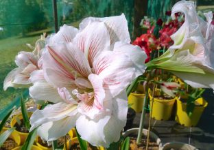 Hippeastrum Great Glory