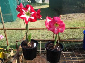 Hybridisation combines strong growth and diversifies flower colour