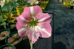 Hippeastrum Imagine
