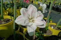 Hippeastrum Kerry Jane