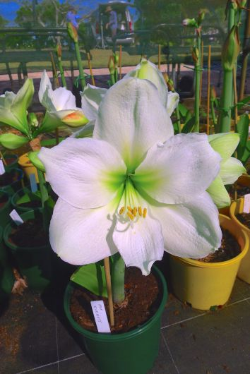 Hippeastrum Mount Everest