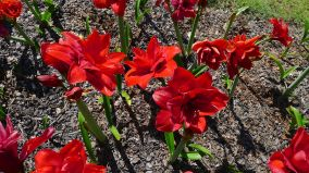 Hippeastrum Russian Twin
