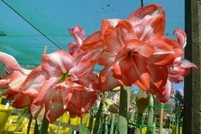 Hippeastrum Shine On