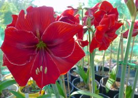Hippeastrum Surprise