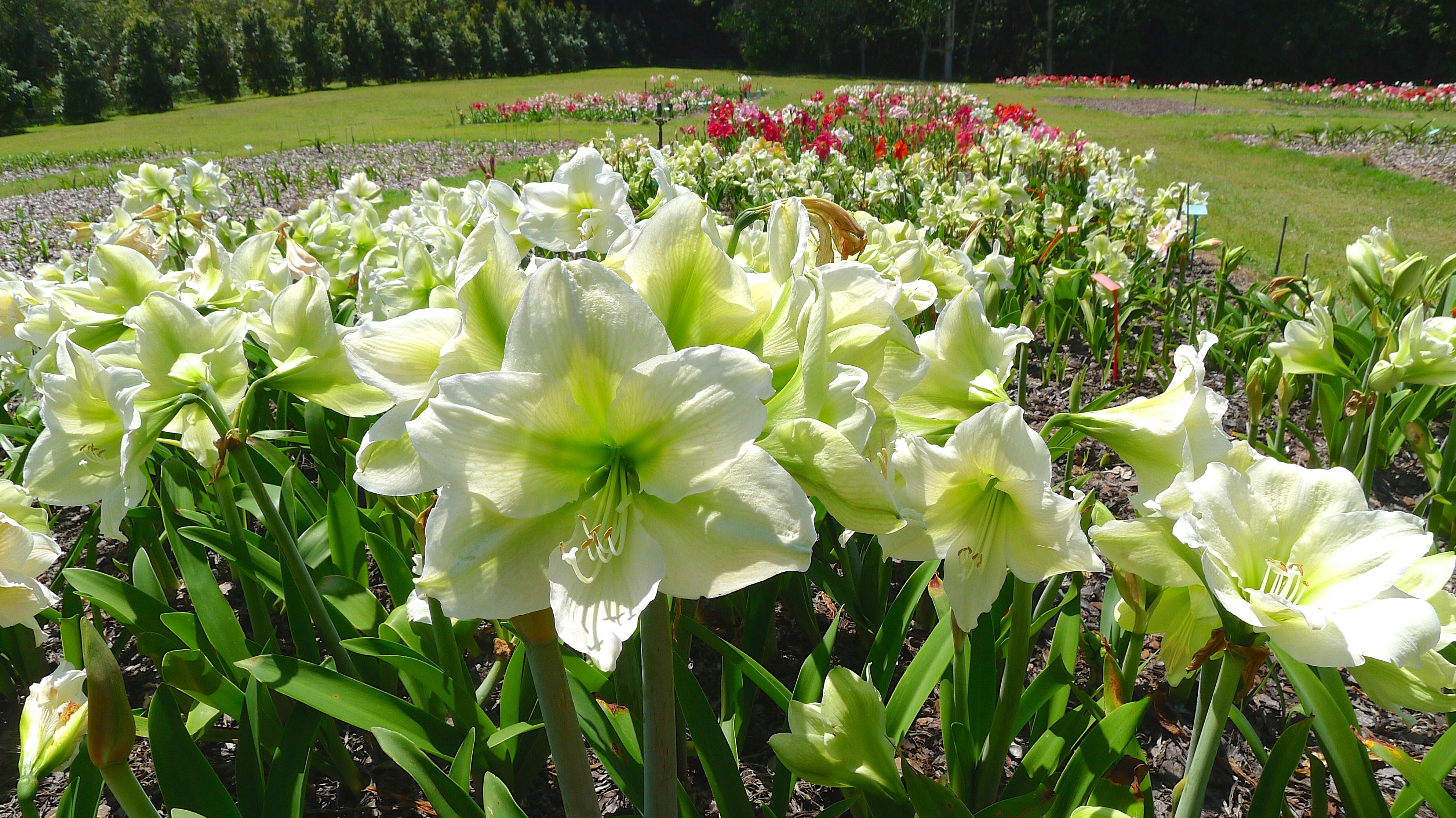 Mick maguires hippeastrum farm woombye 15 jerry for Amaryllis bulbe conservation