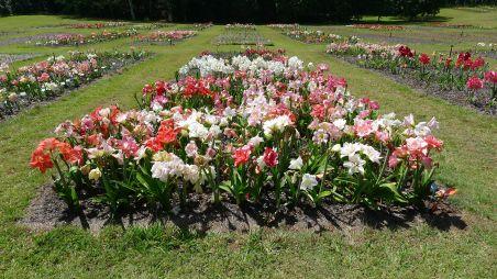 400 Hippeastrum cultivars: 100% Australian