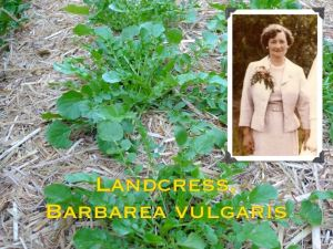 Dorothy Connor and Landcress (Barbarea vulgaris)