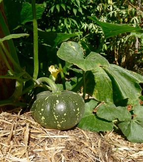 Pumpkin, Cucurbita moschata 'Jap' aka Japanese or Kabocha