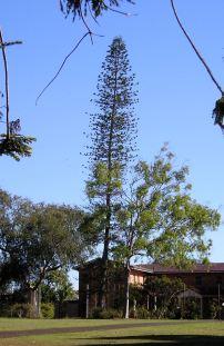 Klinki Pine, Araucaria columnaris