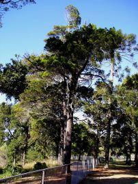 Bribie Island pine, Callitris columellaris var. columellaris