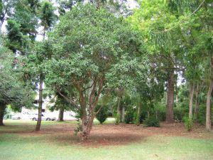 Chilean myrtle, Luma apiculata