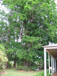 The 'Quadrangulata', Elaeodendron quadrangulatum (Celastraceae)